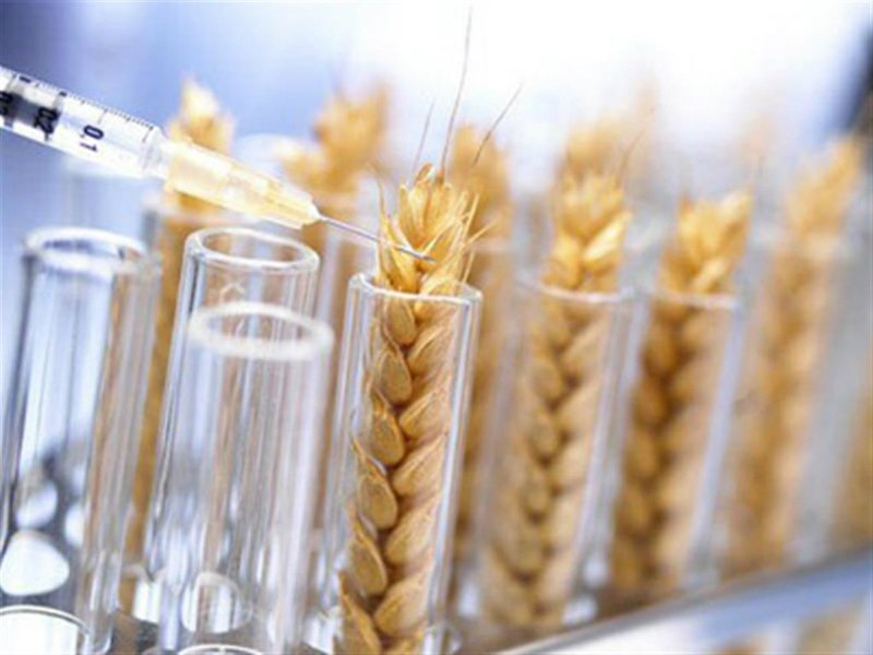 Аргентина стала первой страной, одобрившей ГМО-пшеницу.